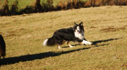 Small Of Border Collie Shedding
