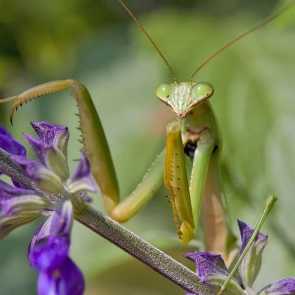 Fall Harvest Wallpaper Praing Mantis Tenodera Aridifolia Sinensis Planet Natural
