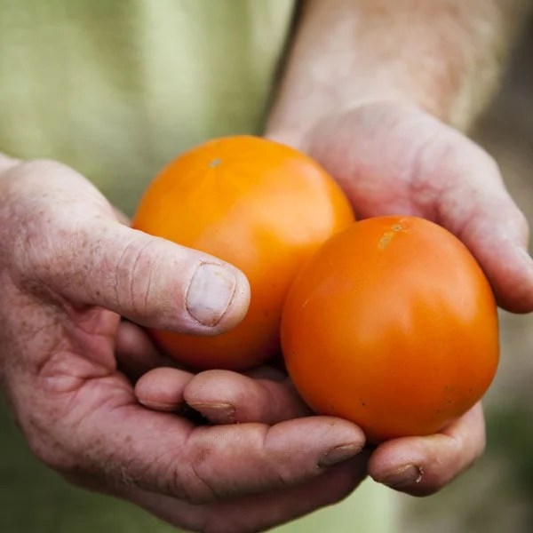 How (and When) to Harvest Tomatoes Planet Natural