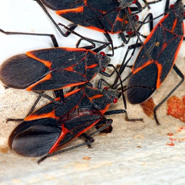 How To Get Rid Of Boxelder Bugs | Planet Natural
