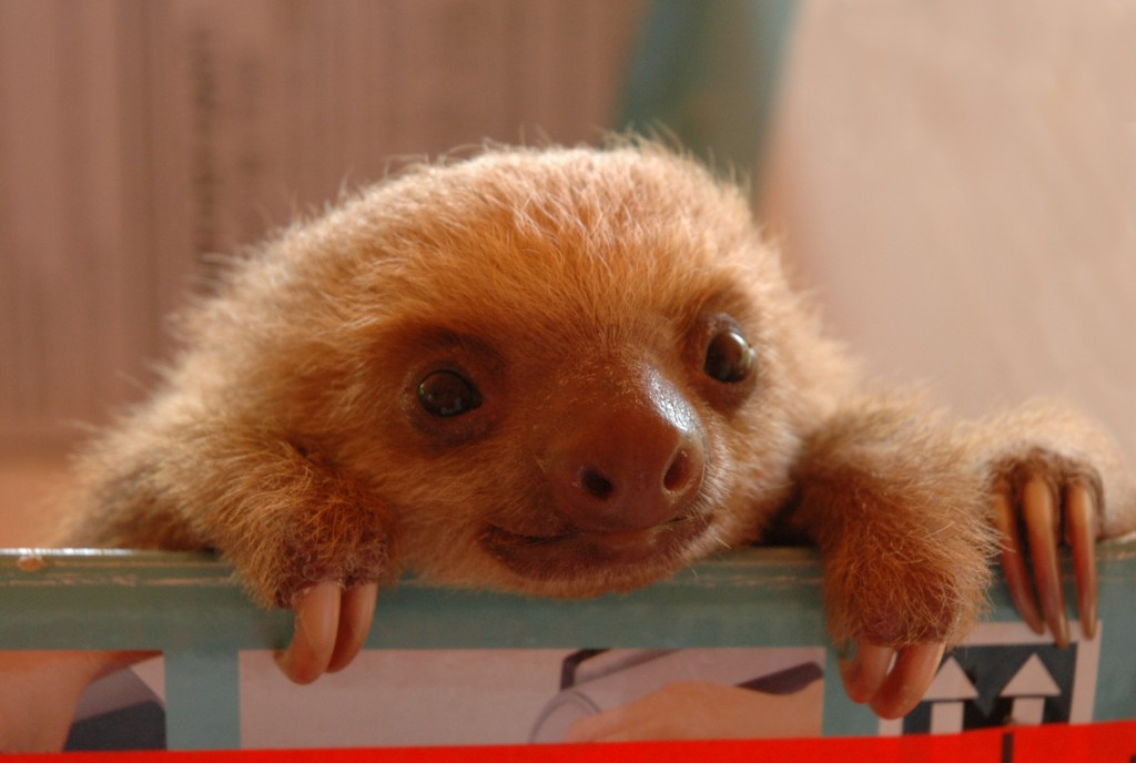 Cute Sloth Wallpaper Marie France Grenouillet Wildlife Photographer