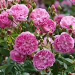 Rose Harlow Carr Rose Harlow Carr Rosa Harlow Carr