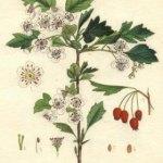 Espino: el remedio eficaz para cuidar y sanar el corazón