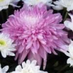 Aplicación del Crisantemo en la Medicina Tradicional China