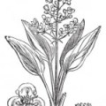 Perder líquidos: Alisma orientale, una planta diurética