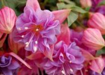 Fucsia (Fuchsia)