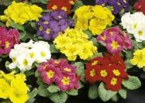 La Prímula o Primavera (Primula acaulis) 4
