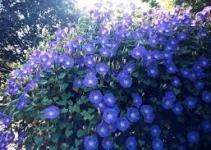 "Caryopteris ó Heavenly blue (""Caryopteris x clandonensis"") 3"