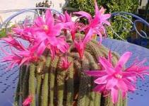 """Cactus cola de rata (""""Aporocactus flagelliformis"""") 1"""