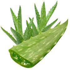 Aloe Vera  2