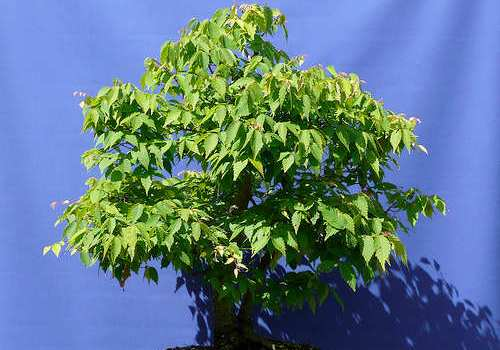 Cómo elegir un bonsai en la tienda