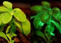 Plantas luminiscentes 2