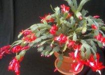 La Schlumbergera o Cactus de Navidad 1
