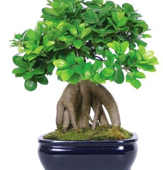 Ficus microcarpa ginseng 3