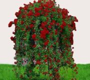 Rosier_pleur_rouge