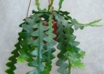 Epiphyllum anguliger: Cactus Ric Rac 2