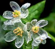 Diphylleia-grayi-flor-que-se-transforma-en-cristal-cuando-llueve-5