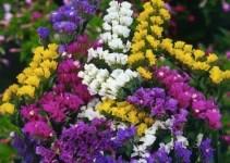 statice_mix_limonium_sinuatum_l._miller_flower_plant-700x700