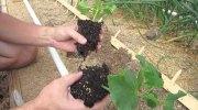 Características del trasplante de plantas