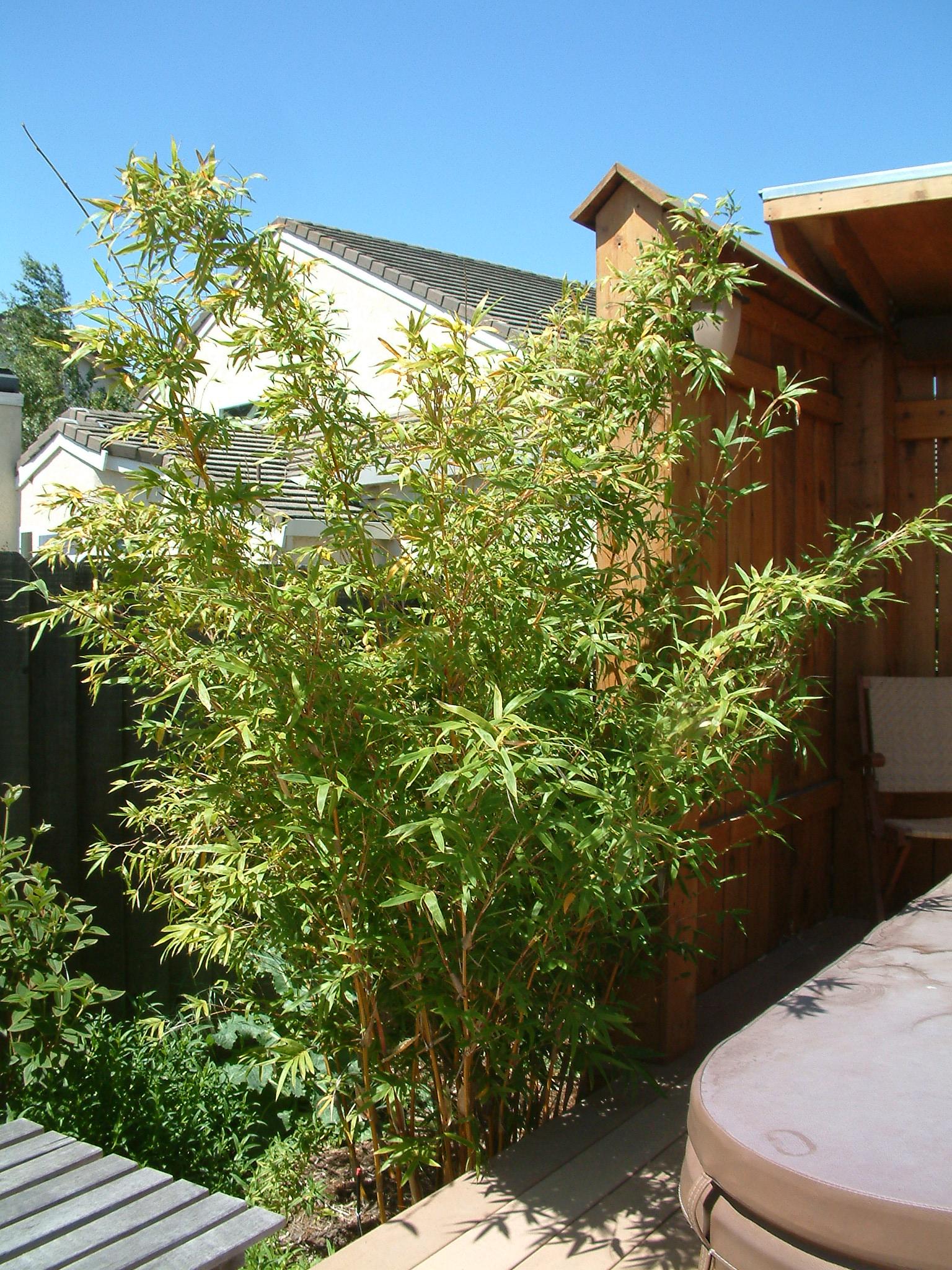 Fullsize Of Golden Goddess Bamboo