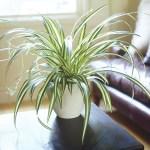 Spider Plant in Lechuza White