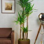 Yucca Cane – 4 Stalks