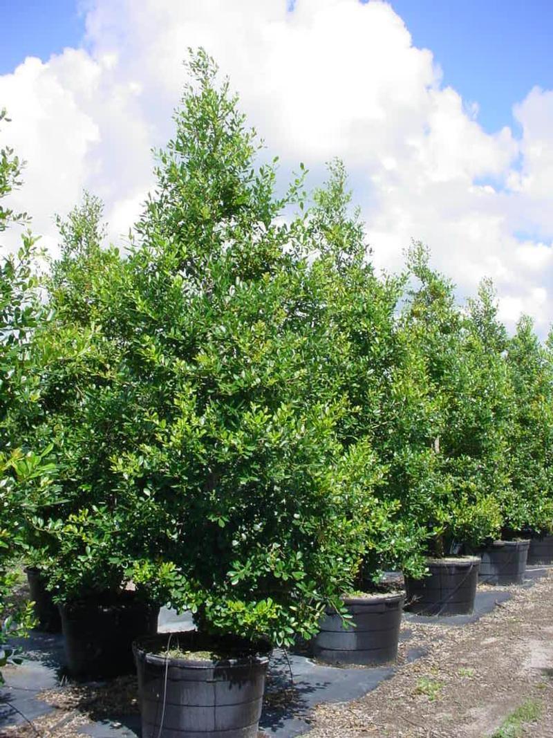 Large Of East Palatka Holly