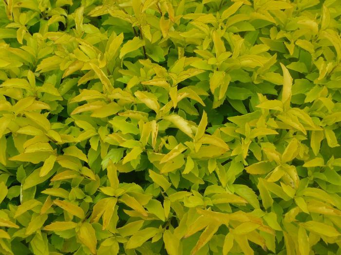 Shade Container Plants Duranta erecta 'Aurea' Golden Dewdrop from Plantworks Nursery