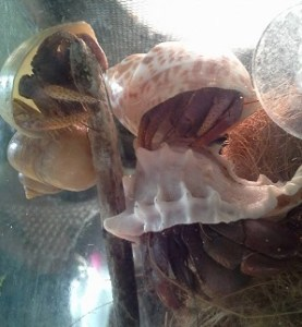 Hermit crabs are social animals who exhibit teamwork and need companionship!