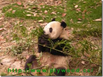 Giant Panda is eating bamboo.