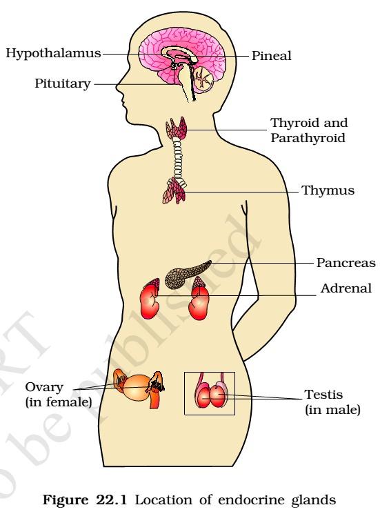 parathyroid glands located