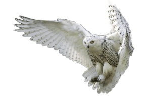 Animals And Birds Wallpaper Owl Png Transparent Images Png All