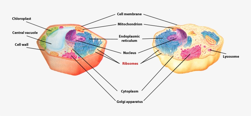 Ribosomes Of A Plant And Animal Cells Is Labled - Cytoplasm In