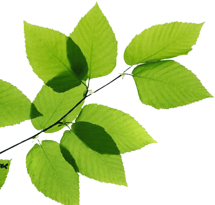 Tulsi Plant Hd Wallpaper Leaves Png Images Transparent Free Download Pngmart Com