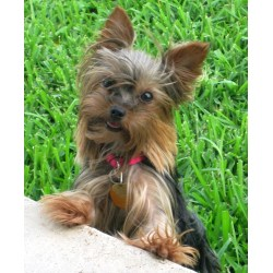 Stunning Sale Yorkie Poo Full Size Yorkie Poo Full Grown Size Socialized Pups Teacup Yorkie Puppies Yorkie Breeder Yorkshires