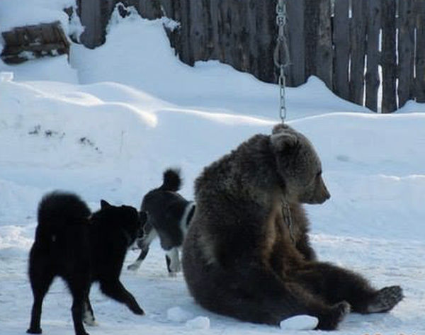 bear exhausted dogs attack ukraine