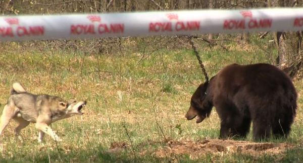 bear_bait_1