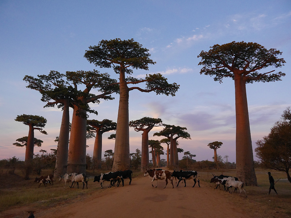 Sunset Avenue of the Baobabs