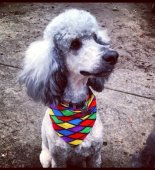 Poodle Forum Standard Poodle Y Poodle Miniature Poodle Forum ALL