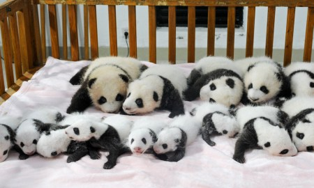 This picture taken on September 23, 2013 shows new-born panda cubs displayed on a crib during a press conference at the Chengdu Research Base of Giant Panda Breeding in Chengdu, southwest China's Sichuan province. 14 giant panda cubs born in 2013 were presented to the public at the press conference, during which the research base introduced the global breeding situation of giant pandas this year.     CHINA OUT     AFP PHOTO        (Photo credit should read STR/AFP/Getty Images)