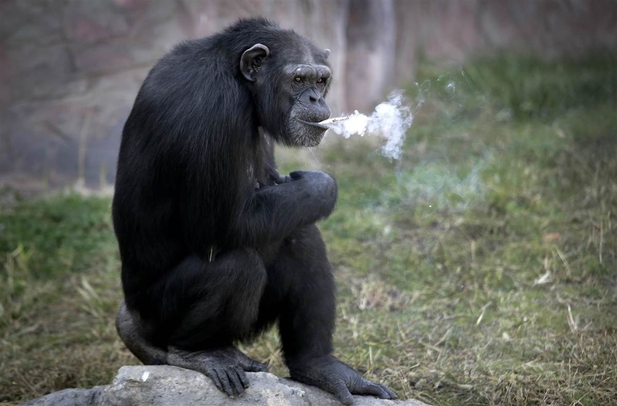 Шимпанзо кое пуши главна ѕвезда на зоолошката градина во Пјонгјанг (ВИДЕО)