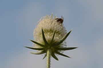 honeybee-DSC_0013