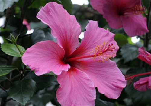 Medium Of Hidden Valley Hibiscus
