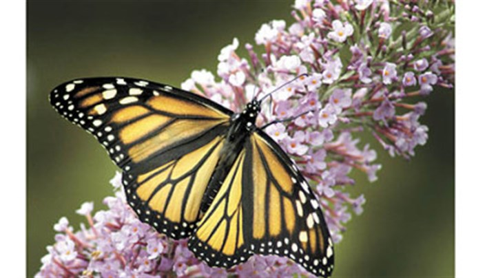 Delay Pruning Butterfly Bush Until Mid-May   Pittsburgh Post-Gazette