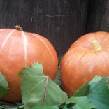 Umbria pumpkins - fall