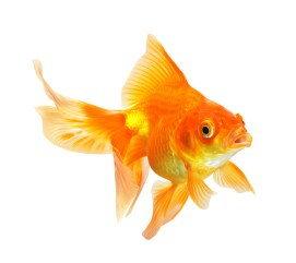 Goldfish, Water Quality  movement, color, fish health  Ornamental and Native Fish Collection issues