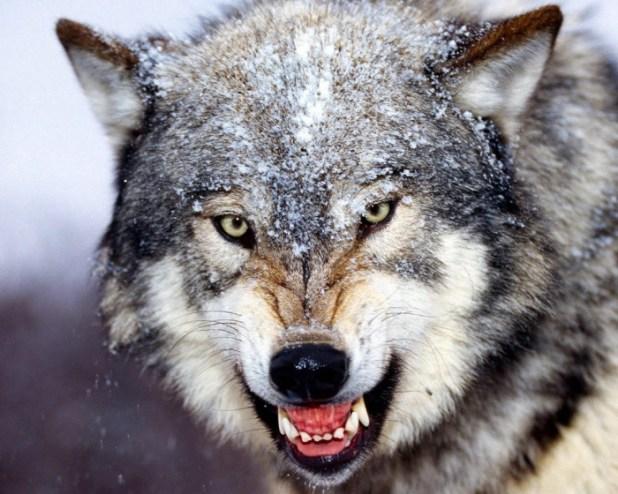 tumblr_lw0d94L6Bc1qg6uvho1_1280 Gray Wolf Is A Keystone Predator Of The Ecosystem