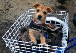puppy-in-trike-basket