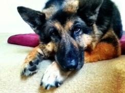 german-sheperd- dog