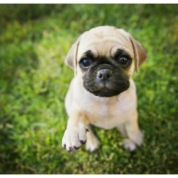 Small Crop Of Boxer Pug Mix